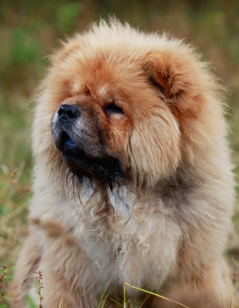 caractere chow chow