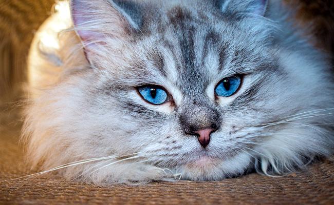 chat de siberie