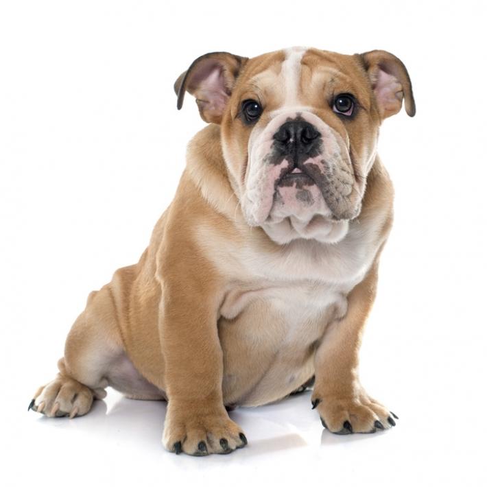 dog anglais
