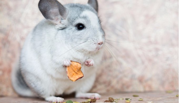 alimentation chinchilla